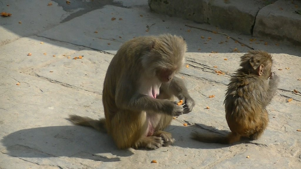 Monkeys of Pashupatinath - Highslide JS